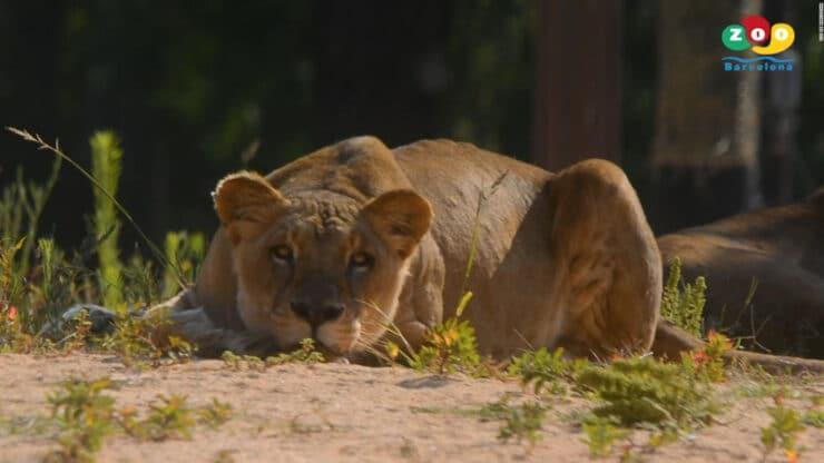 leones positivo covid-19