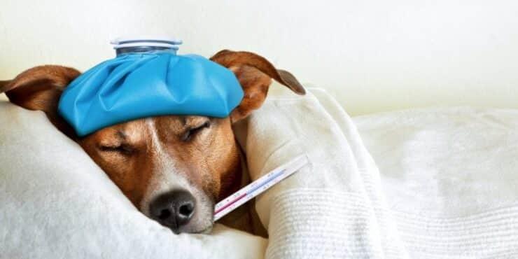 perros enfermedades