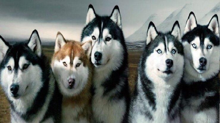 raza-husky-siberiano